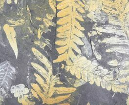 Alethopteris (Seed Fern) - Fossils For Sale - #79689