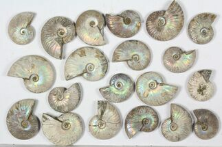 "Wholesale: 1 KG Silver Iridescent Ammonites (2-3"") - 20 Pieces For Sale, #79439"