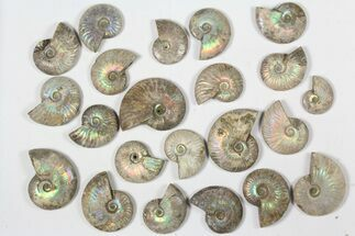 "Buy Wholesale: 1 KG Silver Iridescent Ammonites (2-3"") - 12 Pieces - #79441"