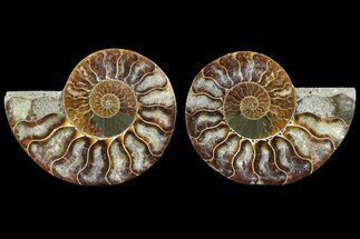 Cleoniceras - Fossils For Sale - #78363