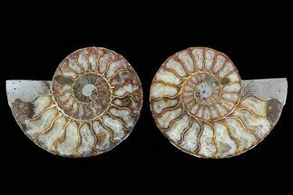Cleoniceras - Fossils For Sale - #78582