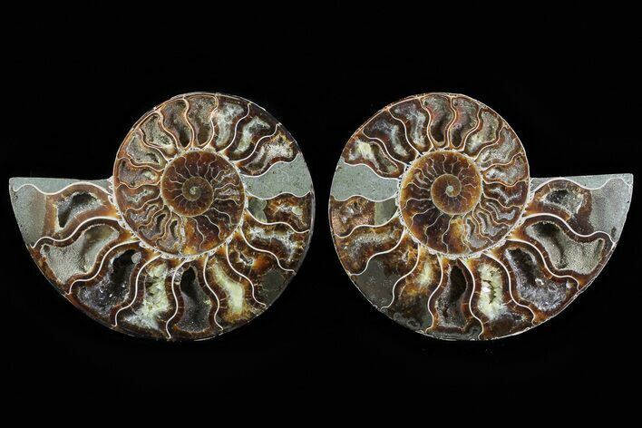 "5"" Cut & Polished Ammonite Fossil - Agatized"