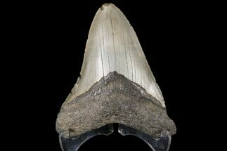 Carcharocles megalodon - Fossils For Sale - #79902