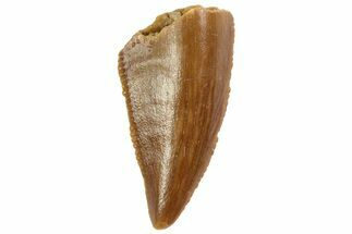 "Serrated, .54"" Raptor Tooth - Real Dinosaur Tooth For Sale, #80075"