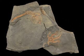 Ophiura sp. & unidentified - Fossils For Sale - #80319