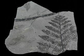 "5.9"" Pennsylvanian Fossil Fern Plate - Kinney Quarry, NM For Sale, #80486"