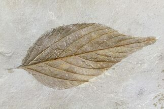 "1.9"" Detailed Fossil Hackberry Leaf - Montana For Sale, #80786"