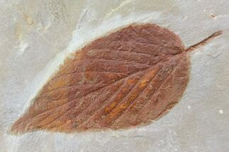 Viburnum asperum - Fossils For Sale - #80790
