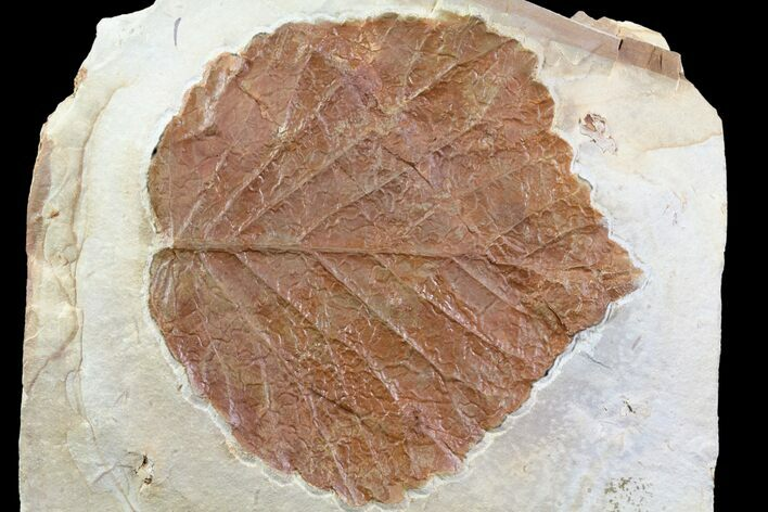 "3"" Detailed Fossil Leaf (Davidia) - Montana"