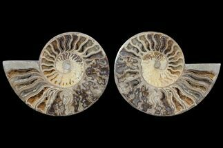"Buy 10"" Choffaticeras (""Daisy Flower"") Ammonite - Madagascar - #80914"