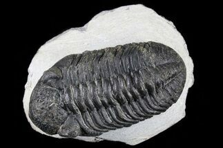 Pedinopariops sp. - Fossils For Sale - #80949
