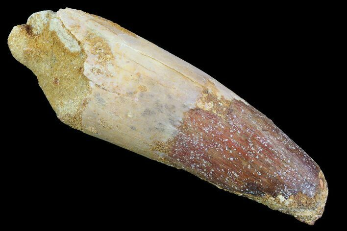 "2.65"" Real Spinosaurus Tooth - Partial Root"