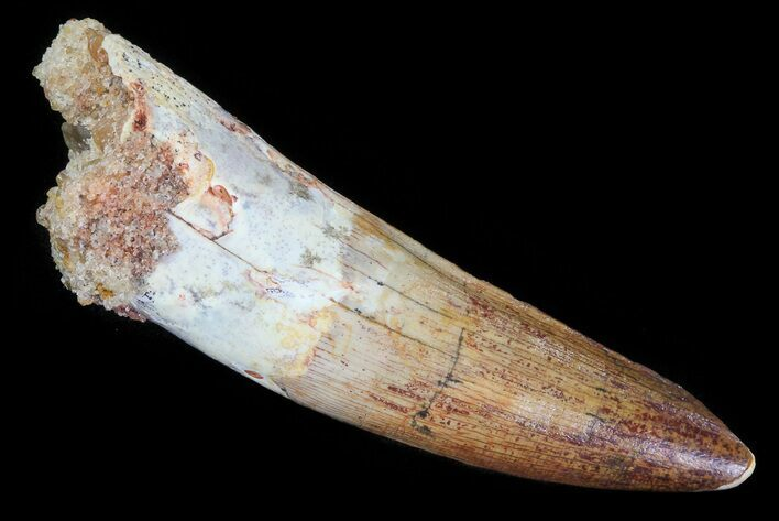 "2.43"" Spinosaurus Tooth - Beautiful Enamel"