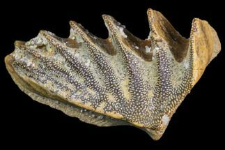 Ceratodus sp.  - Fossils For Sale - #81174