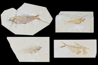 "Wholesale Lot: Cheap 1.5 to 4"" Green River Fossil Fish - 69 Pieces For Sale, #81218"