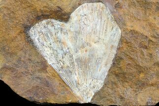 "2.4"" Fossil Ginkgo Leaf From North Dakota - Paleocene For Sale, #81224"
