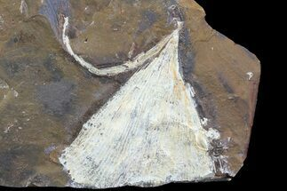 "Buy 1.9"" Fossil Ginkgo Leaf From North Dakota - Paleocene - #81232"