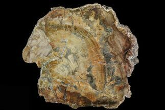 "11.7"" Colorful Petrified Wood (Araucaria) Round - Madagascar  For Sale, #81356"