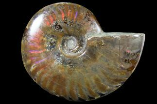 "Buy 4.25"" Iridescent Red Flash Ammonite - Madagascar - #81370"
