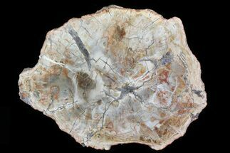 "Buy 11.8"" Colorful Petrified Wood (Araucaria) Round - Madagascar  - #81445"