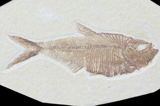 "5"" Diplomystus Fossil Fish - Wyoming For Sale, #81422"