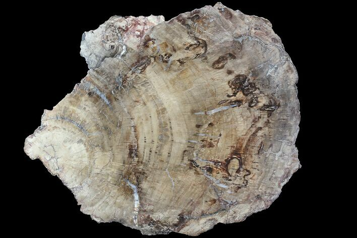 "14.7"" Detailed Petrified Wood (Araucaria) Slab - Madagascar"