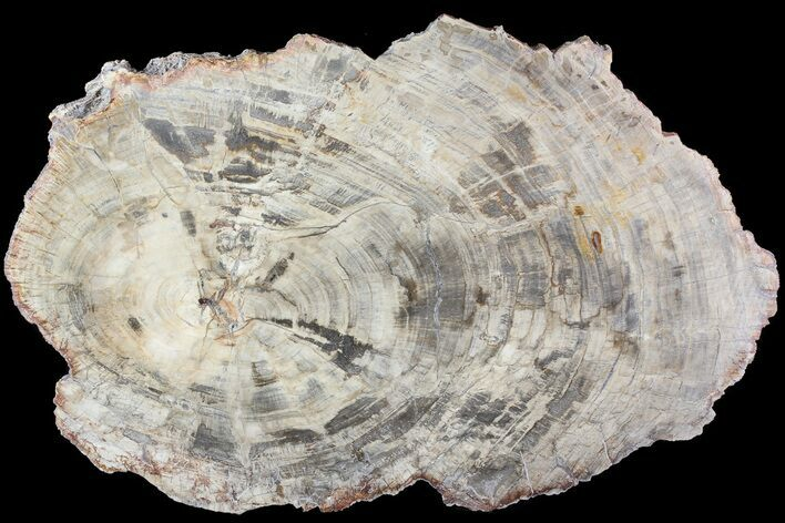 "17.6"" Detailed Petrified Wood (Araucaria) Round - Madagascar"