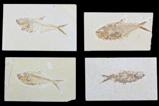 "Wholesale Lot: 1.5 to 3"" Green River Fossil Fish - 20 Pieces For Sale, #81413"