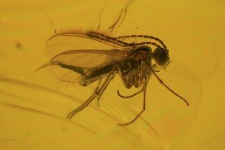 Buy Detailed Fossil Fly (Diptera) In Baltic Amber  - #81730