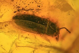 Buy Detailed Fossil Beetle (Coleoptera) In Baltic Amber - #81733