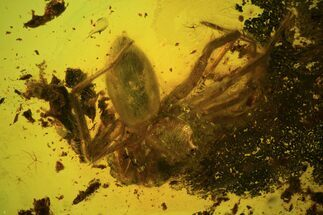 Buy Detailed Fossil Spider (Aranea) In Baltic Amber - #81736
