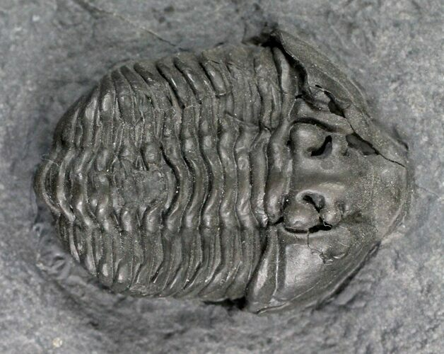 "1.6"" Gravicalymene Trilobite - Sugar River Formation, New York"