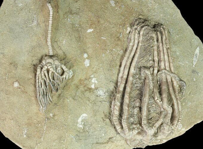 Two Crinoids With Starfish - Crawfordsville, Indiana (reduced price)