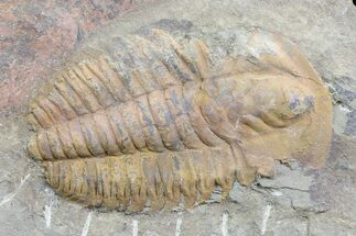 "2.7"" Orange Hamatolenus Trilobite Molt - Tinjdad, Morocco For Sale, #82595"