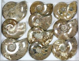 "Wholesale Lot: 5 to 5 1/2"" Polished Ammonite Fossils - 10 Pieces For Sale, #82649"