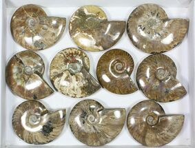 Mostly Cleoniceras - Fossils For Sale - #82650