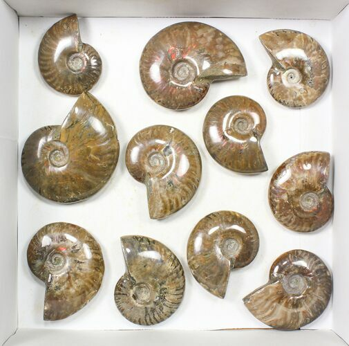 "Wholesale: 2-3"" Iridescent, Red Flash Ammonites - 12 Pieces"