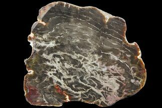 "Buy 7.8"" Jurassic Petrified Wood (Pentoxylon) End Cut - Australia - #82765"