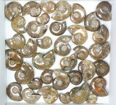 "Wholesale: 1kg Iridescent, Red Flash Ammonites (1-2"") - 36 Pieces For Sale, #82484"