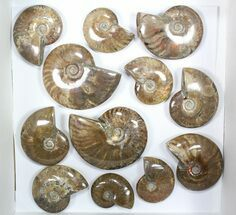 "Buy Wholesale: 1kg Iridescent, Red Flash Ammonites (2-3"") - 12 Pieces - #82486"