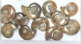"Wholesale: 1kg Iridescent, Red Flash Ammonites (2-2.5"") - 21 Pieces - #82490-3"