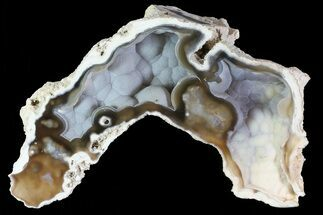 "5.6"" Unique, Agatized Fossil Coral Geode - Florida For Sale, #82771"