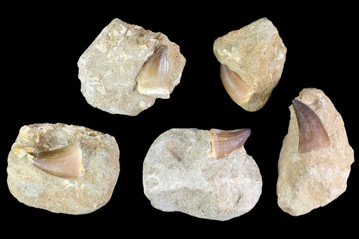 "Wholesale Box: 1-2"" Fossil Mosasaur Teeth In Rock - 50 Pieces"