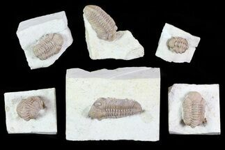 Buy Wholesale Lot: Bargain Kainops Oklahoma Trilobites - 6 Pieces - #83401