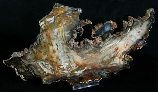 "Uniquely Shaped Petrified Wood Slab - 12.1"" For Sale, #6269"