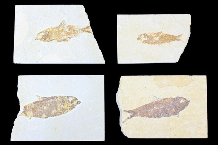 Wholesale Lot: Green River Fossil Fish - 33 Pieces