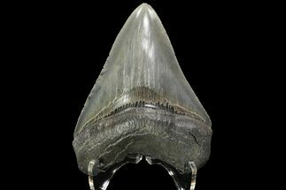 "Serrated, 3.73"" Fossil Megalodon Tooth - Georgia River For Sale, #84155"