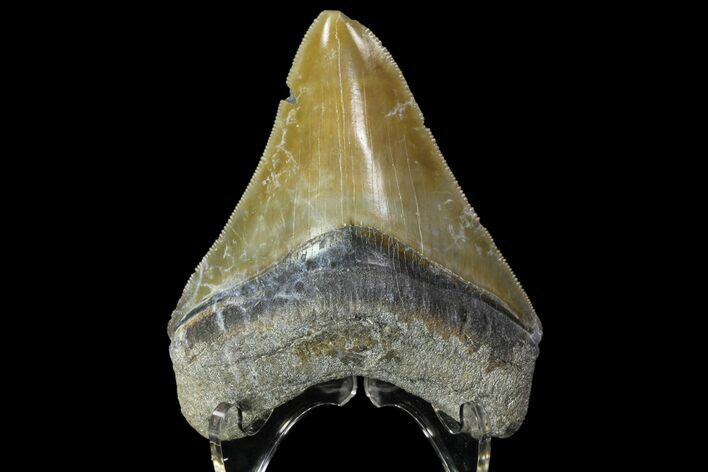 "Colorful, 3.57""  Bone Valley Megalodon Tooth - Florida"