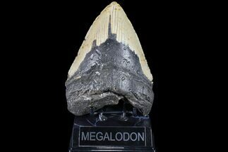 "Buy Bargain, 5.65"" Megalodon Tooth - North Carolina - #83977"