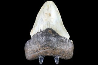 Carcharocles megalodon - Fossils For Sale - #83979